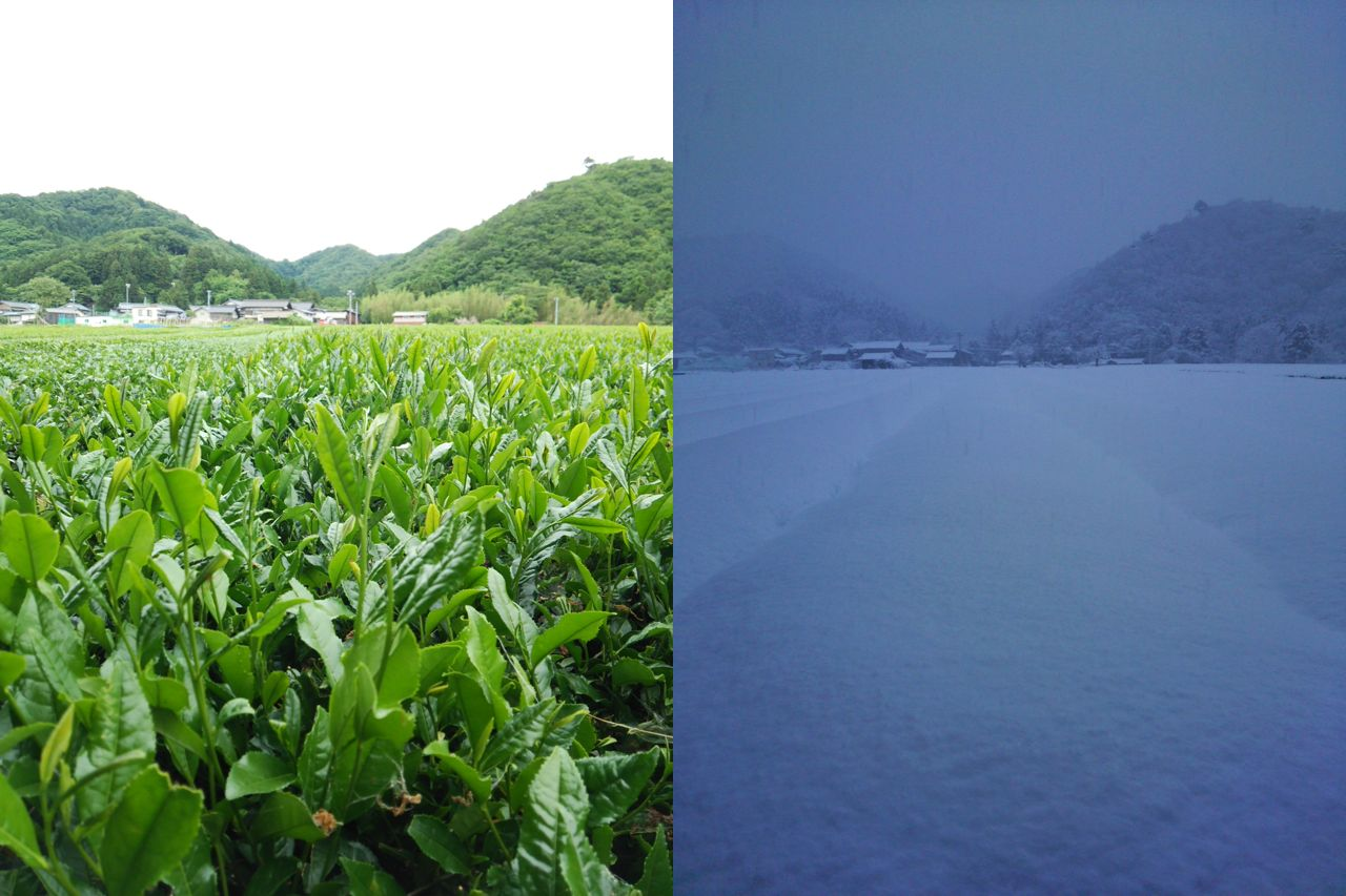 Murakami tea plantation in summer in summer and in winter